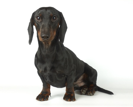 Dachshund is sitting   Stock Photo