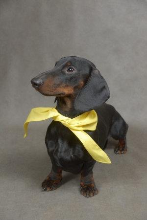 Dachshund with yellow kerchief is sitting