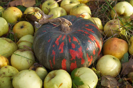Pumpkin and apples on the grass in the autumn garden Stock Photo