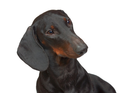 Young smooth black and tan dachshund Stock Photo