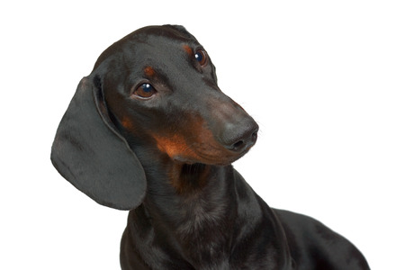 Young smooth black and tan dachshund Stock Photo - 23116317
