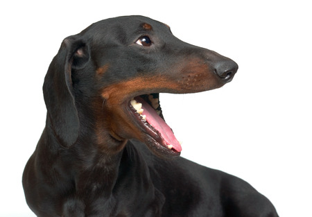 Yawning young smooth black and tan dachshund   Stock Photo - 23116319