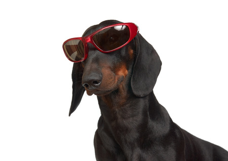 black rimmed: Young smooth black and tan dachshund in red rimmed sunglasses  Stock Photo