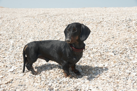 Young smooth black and tan dachshund dog at shelly beach