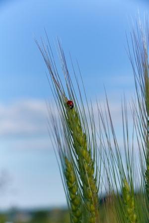 coccinella: Ladybug   Coccinella magnifica  on spica in sunny summer day Stock Photo