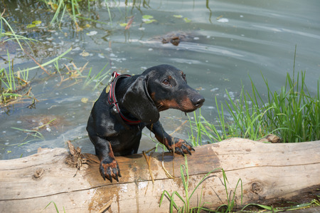 Dachshund puppy after swimming in lake crawl out on log    Stock Photo