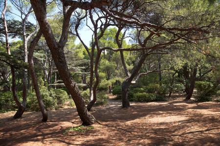 Italian stone pine  Pinus pinea L  , Foros park, Crimea