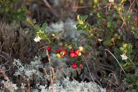 Cowberry in reindeer moss
