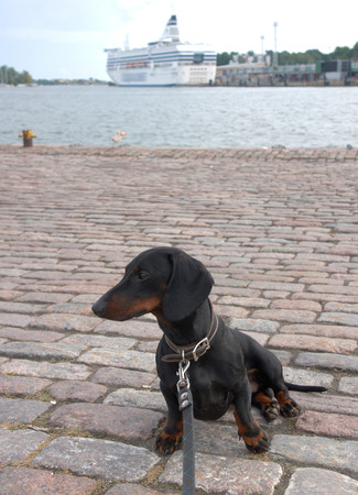 Black and tan dachshund at navy pier in Helsinki, Finland. photo