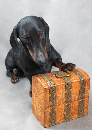 Smooth black and tan dachshund with metal-covered wooden vintage casket  photo