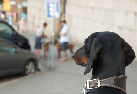Smooth black and tan dachshund looking at other dogs photo