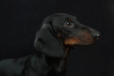 doxie: Young smooth black and tan dachshund Stock Photo