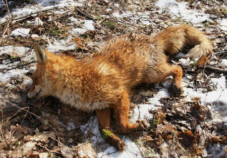 cull: Killed fox on snowy ground in the forest