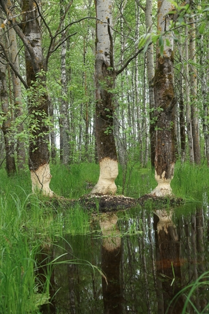 Birch bitten by beavers
