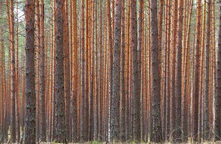 Pine forest near city Murom Vladimir region Russia Stock Photo