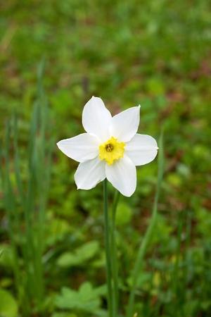 jonquil: White jonquil in the garden
