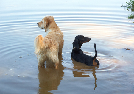 Golden retriever and dachshund on the lake Stock Photo