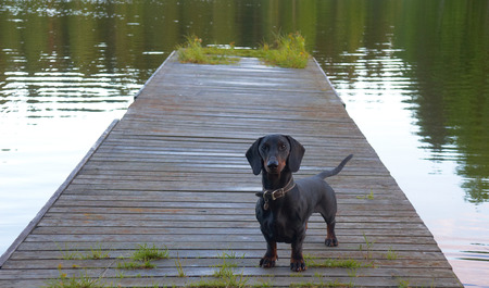 doxie: Black and tan dachshund at wooden pier