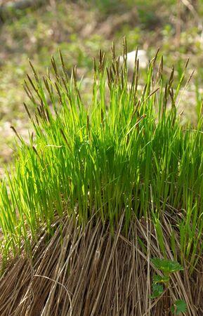 carex: Sedge sharp Carex acuta in early spring