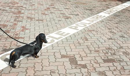 Black and tan dachshund on polar circle in Rovaniemi, Finland Stock Photo