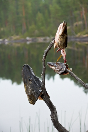 in the mouth: Pike fish heads on sticks on background lake, Karelia Stock Photo
