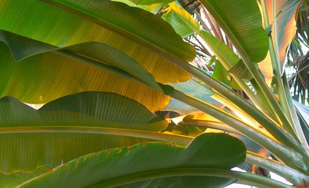 Banana leaf in garden Stock Photo