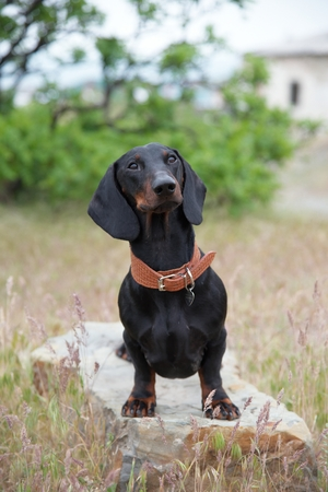 Dachshund standing on a large rock