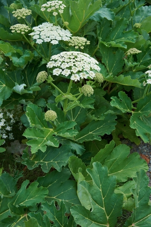 Sosnowskys hogweed (Heracleum sosnowskyi) is a flowering plant in the family Apiaceae, originally native to Caucasus