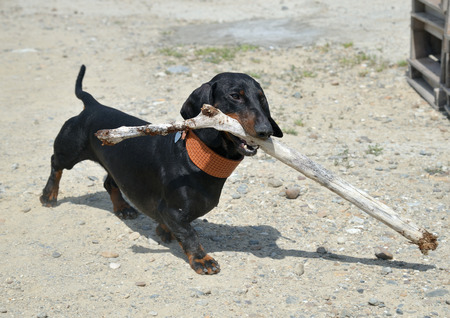 Dachshund for a walk with stick on beach Stock Photo