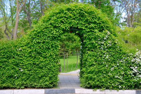 Arch spirea bushes in spring park