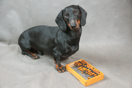 Young dachshund and wooden abacus on gray background