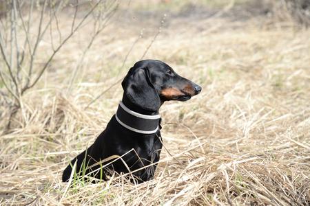 Dachshund sits on field