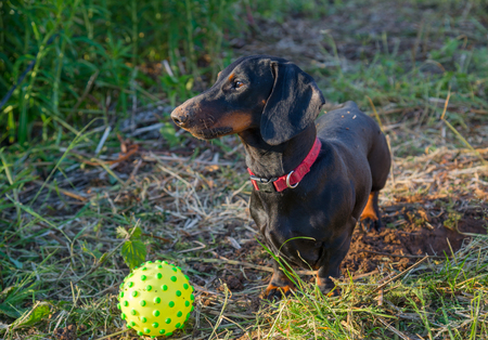 Young smooth black and tan dachshund and ball outdoor Stock Photo