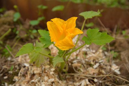 filings: Zucchini flower on sawdust background Stock Photo