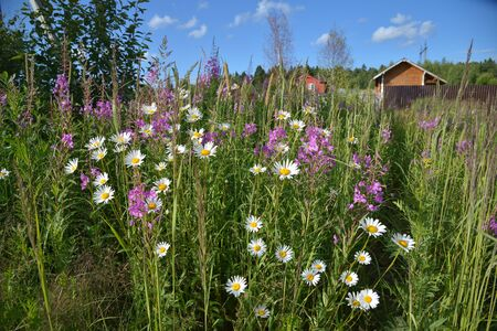 Willow-herb and chamomile in field near village Stock Photo