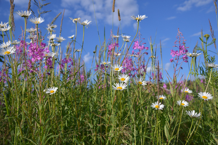 Willow-herb and chamomile in field