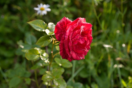 Red rose with drops of dew on petals in garden