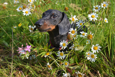 Dachshund wet with dew among flowers in field Stock Photo