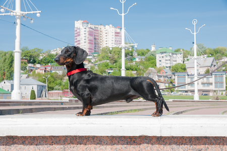 Young smooth black and tan dachshund at the Admiralty Square, Voronezh, Russia