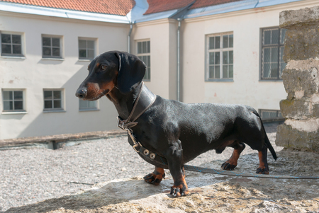 Young smooth black and tan dachshund on stone wall on house background