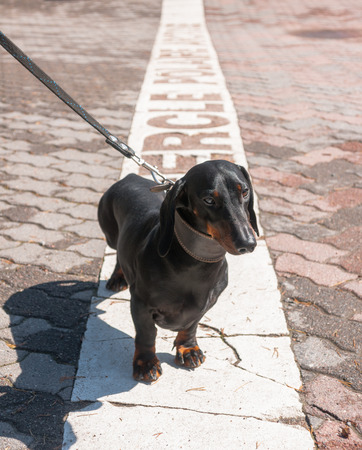 Black and tan dachshund on polar circle in Rovaniemi, Finland Stock Photo