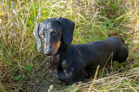 Black and tan dachshund on summer field Stock Photo - 118171620