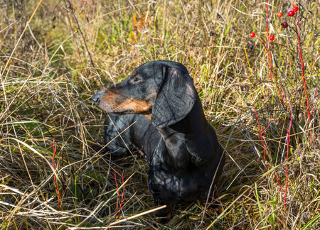 Black and tan dachshund on summer field Stock Photo