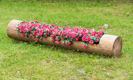Flowerbed of red begonias and white daisies in hollowed tree trunk Archivio Fotografico - 111880546