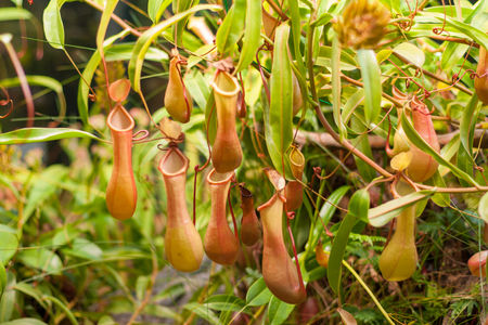 Pitcher Plant (Nep?nthes) in greenhouse