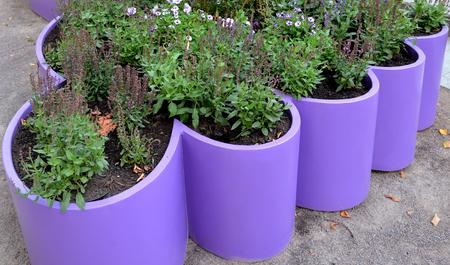 Multi-colored petunia flowers and flowerbed plants on purple flowerbed