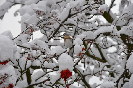 Fieldfare, or snowbird (Turdus pilaris) on snow-covered branches Standard-Bild - 124953345