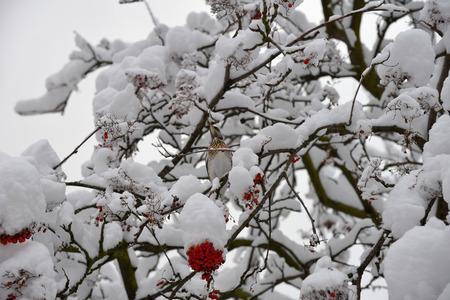 Fieldfare, or snowbird (Turdus pilaris) on snow-covered branches Imagens
