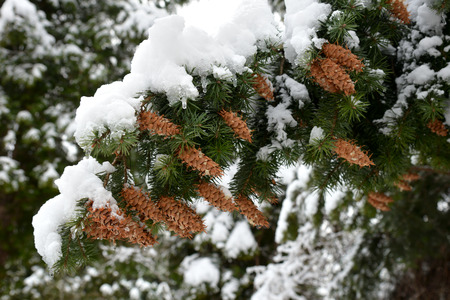 Branch of coniferous plant Pseudo-match, Douglasia, or Lzhetsuga, or Douglas fir (Latin: Pseudots?ga) with snow covered