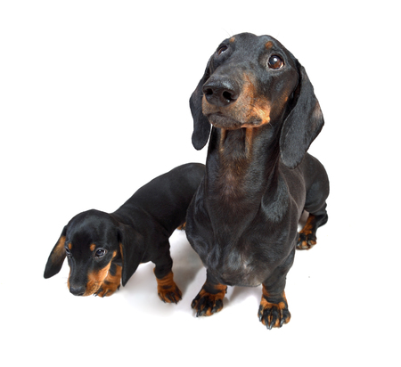 Smooth black and tan dachshund with a two-month puppy on white background